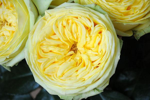 Catalina Deluxe Garden Rose