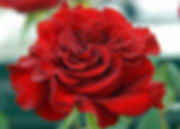 Wanted/Hearts Deluxe Garden Rose