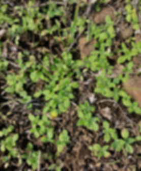 Plagiobothrys nothofulvus Rusty Popcorn