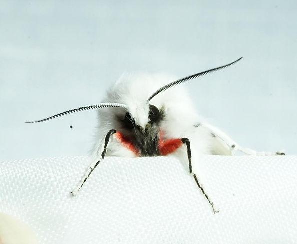Vestal tiger moth scarlet legs.jpg