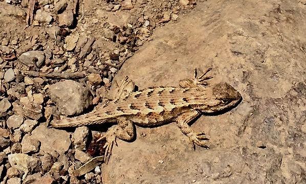 alligator lizard.jpeg