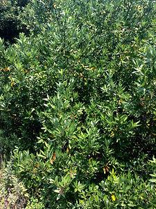 Umbellularia californica California Bay.