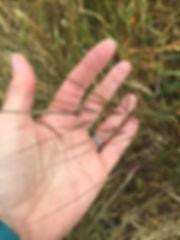 needle grass seed.jpeg