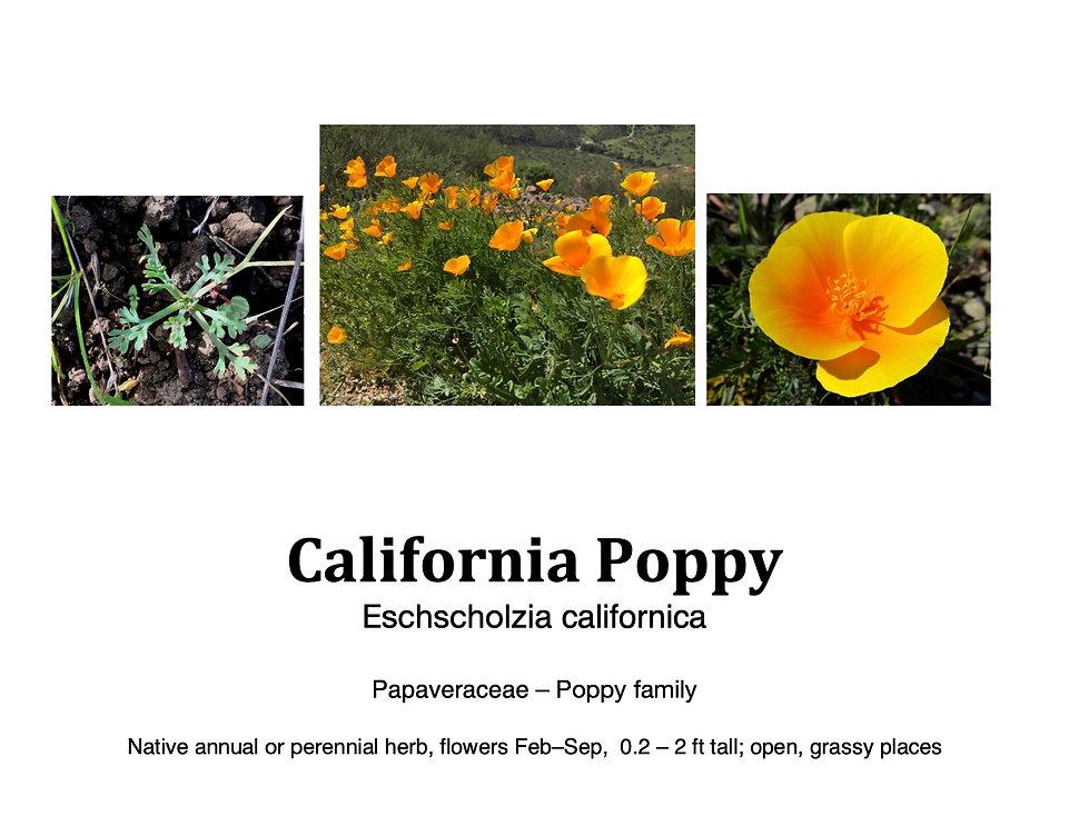 California Poppy flashcard.jpg