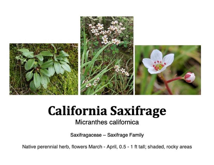 Saxifrage flashcard.jpg