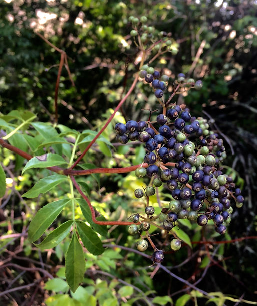 Sambucus nigra Blue elderberry berries.j