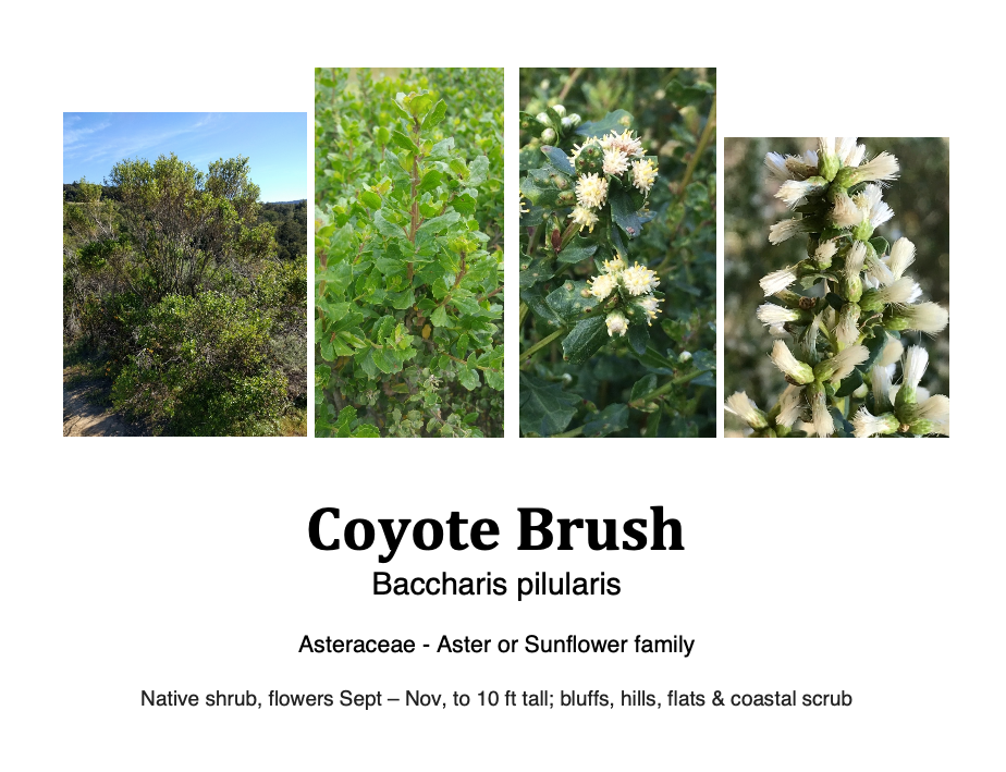 Coyote brush flashcard.png