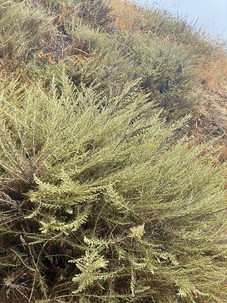 Artemesia californica.jpeg