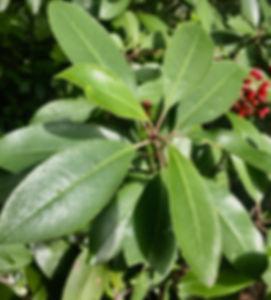 Heteromeles arbutifolia Toyon leaves.jpe