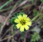 Madia gracilis.jpeg