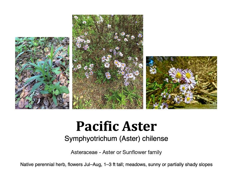 Pacific aster flashcard.jpg