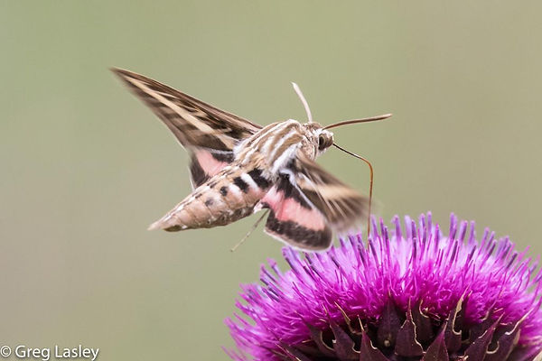 Sphinx moth and thistle.jpg