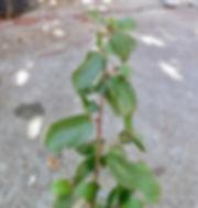 ceanothus oliganthus sorideatus.jpg