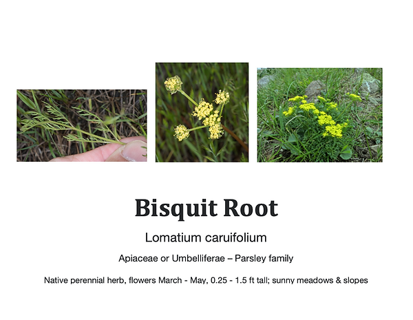 Bisquit root flashcard.png