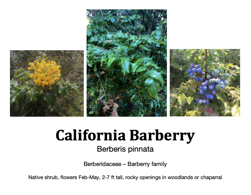 Barberry flashcard.png