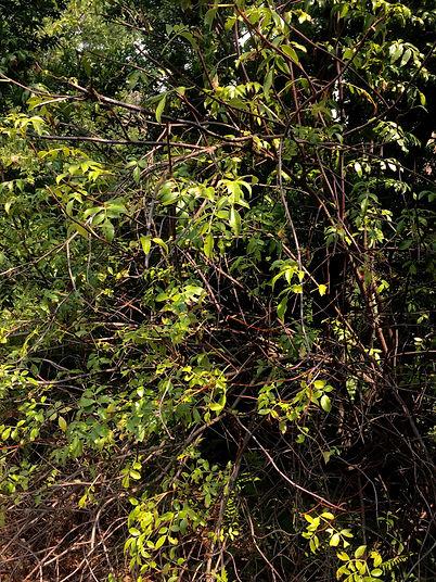 Sambucus nigra Blue elderberry.jpg