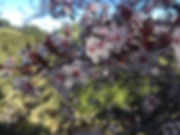 wild plum blossoms.jpg