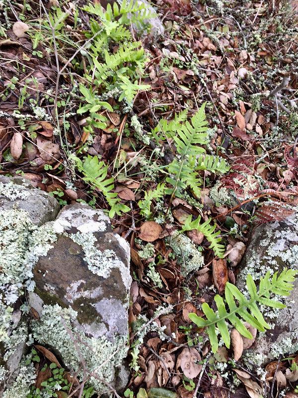 polypodium calirhiza in situ.jpeg