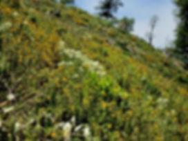 Pseudognaphaliium calif. habitat - 1.jpe