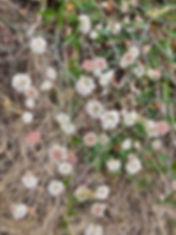 Eriogonum nudum close up.jpeg
