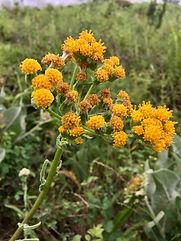 Senecio aronicoides flowers.jpeg