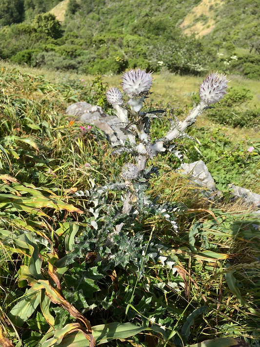 Cirsium occidentale cobwebby thistle.jpe