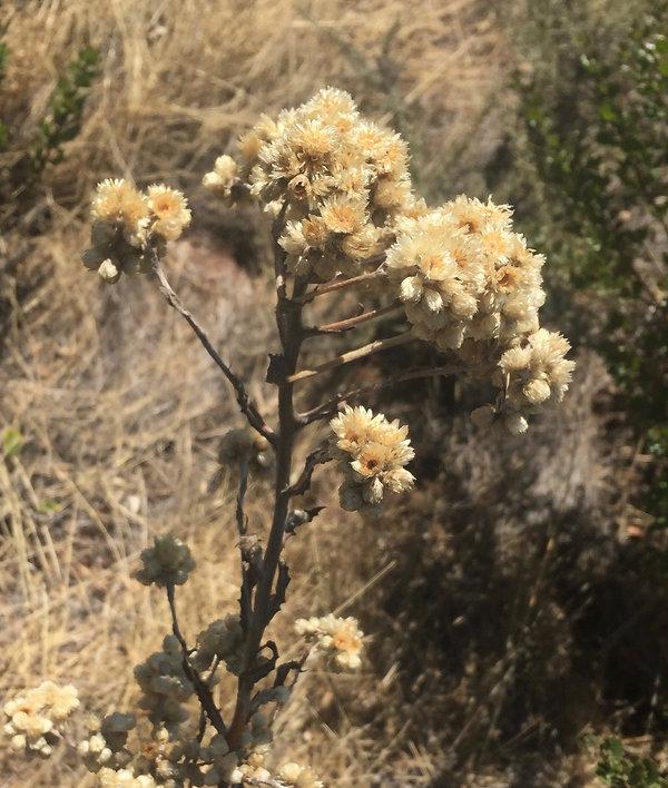 Pseudognaphalium californicum pearly eve