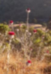 Cirsium occidentalis.jpg