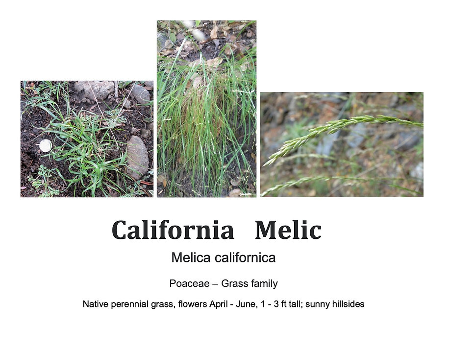 CaliforniaMelic.jpg