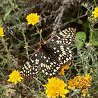 checkerspot.jpeg