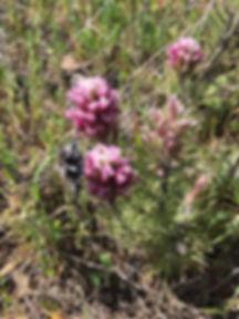 Castilleja exerta Purple Owl's Clover fl