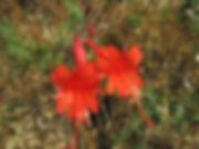 Epilobium canum California Fuschia close