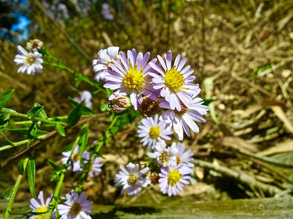 aster chilensis by picnic table.jpg