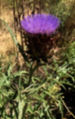Cynara cardunculus Cardoon thistle.jpg