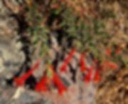 Epilobium canum California fuschia red f