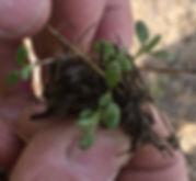 Trifolium hirtum Rose Clover.jpeg