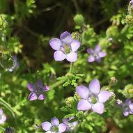 Yarrow leafed Gilia.jpg