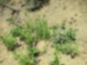 Stephanomeria virgata ssp pleurocarpa wi
