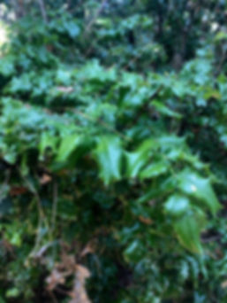 Berberris pinnata-.jpg