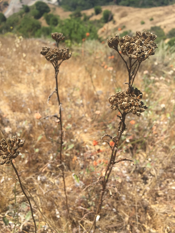 Achillea millefolium Yarrow dried seed h