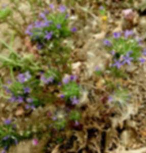 Naverretia squarosa purple flower Skylin