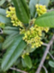 coffeeberry flower.jpeg
