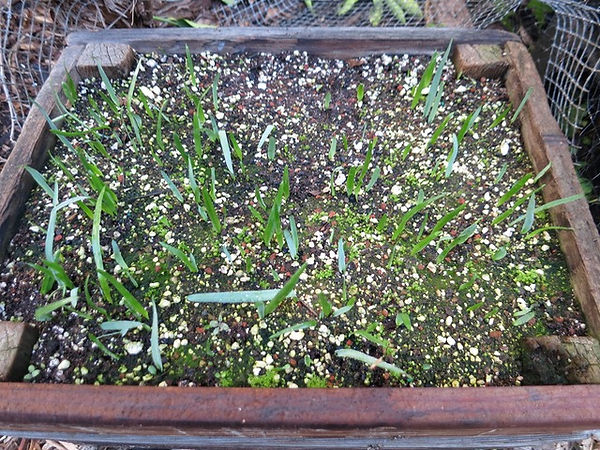 Soap Root seedlings Nov 2, 2015 - 1.jpg