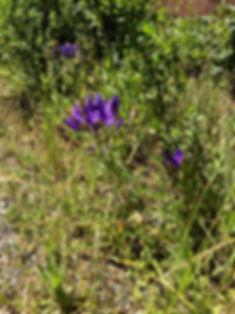 Triteleia laxa Ithuriels spears c.jpeg