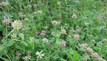 Trifolium bifidum 2015.jpg