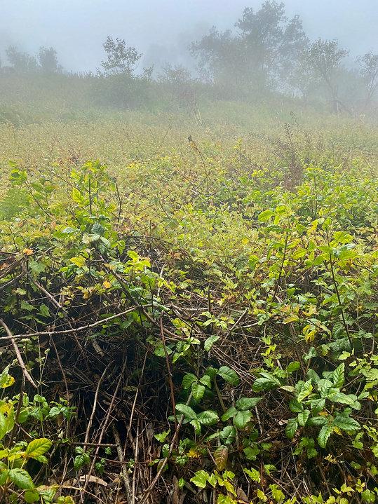 Physocarpus capitatus.jpeg