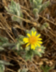 Heterotheca sessiflora Golden aster yell