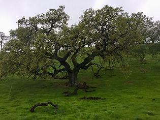 beautiful oak.jpeg