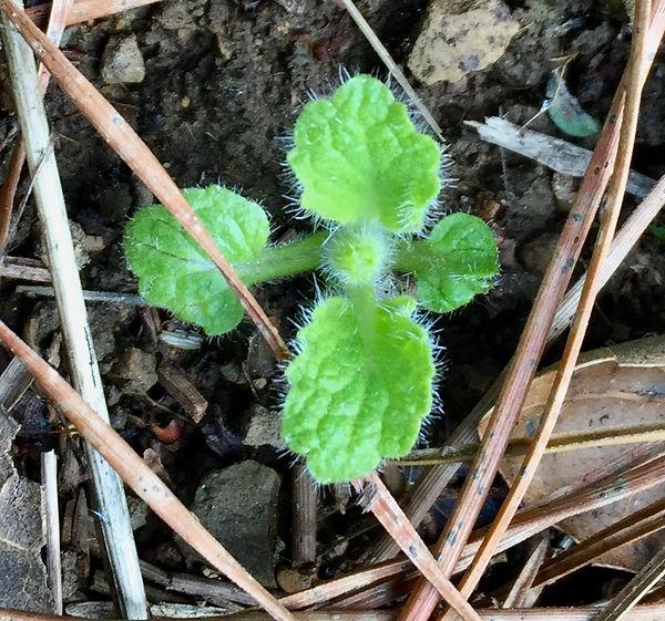 Stachys adjugoides seedling 2.jpeg