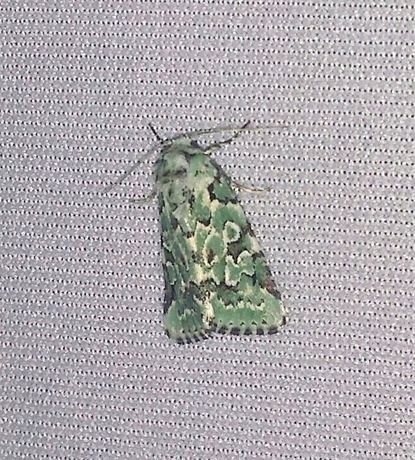 California Lichen Moth .jpg